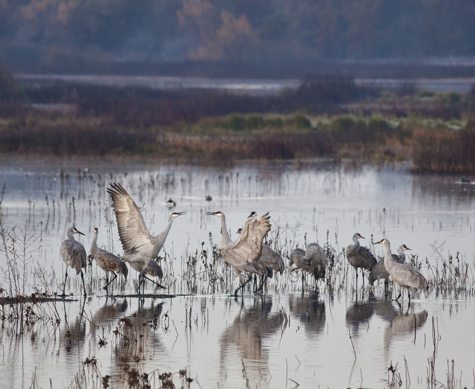 cranes in the Cosumnes River Preserve