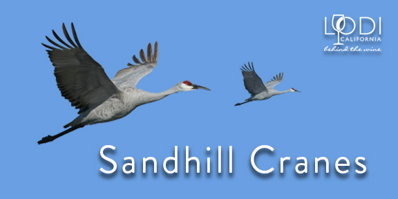 A Festival Of Cranes Bay Nature >> View Sandhill Cranes In Lodi Ca Visit Lodi